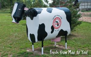 Shetler Cow